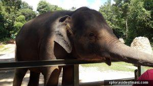 Anak gajah meminta makanan