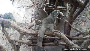 Biawak di zoo