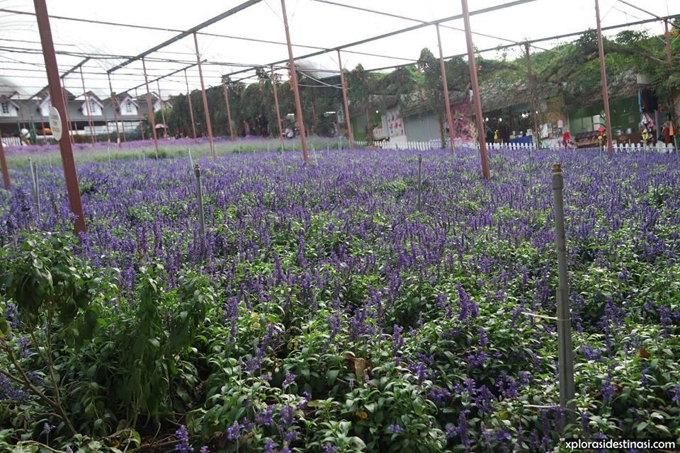 cameron-lavender-garden-blog