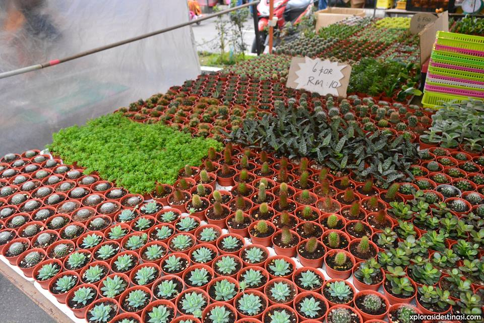 harga-kaktus-cameron-highland