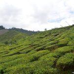 Cameron Tea Valley – Jalan-jalan sekitar ladang teh dan minum teh