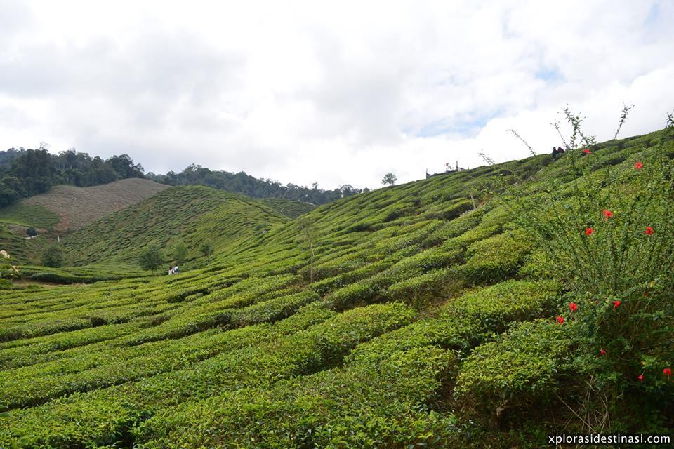 ladang-teh-bharat-tea