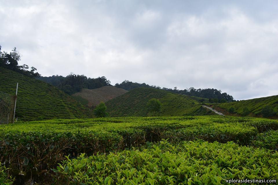 ladang-teh-cameron-tea-valley