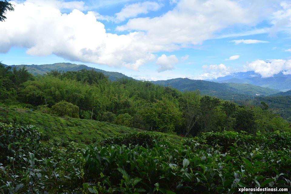 ladang-teh-sabah-tea-ranau