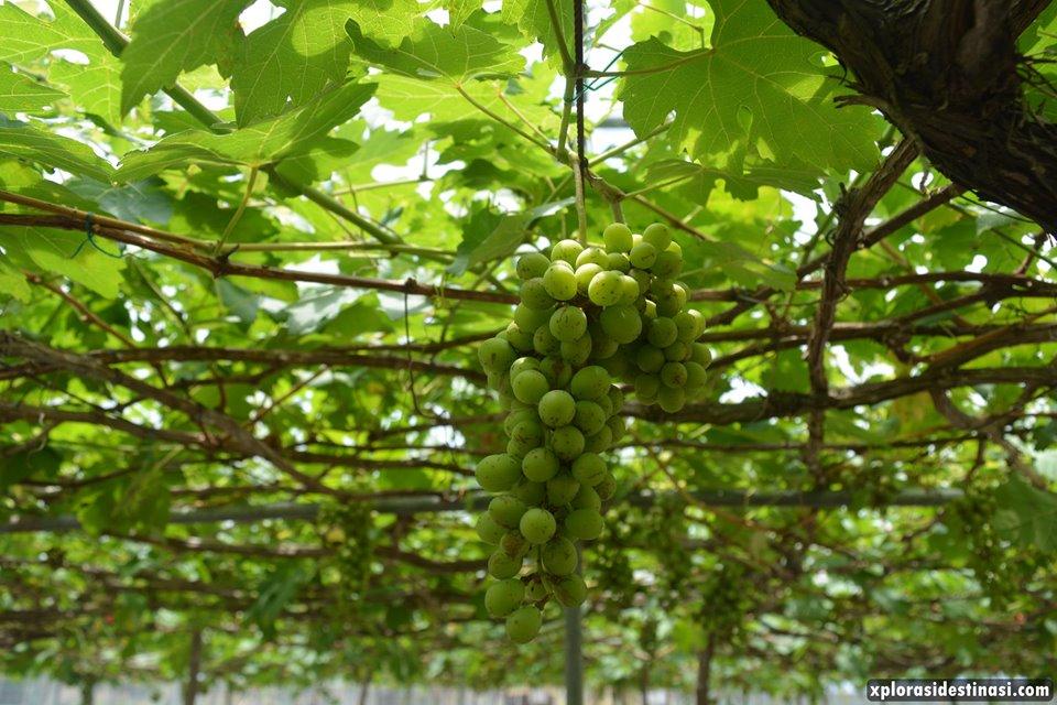 rasa-anggur-mardi-langkawi