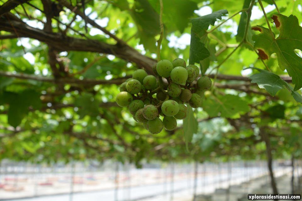 anggur-masam-mardi-langkawi