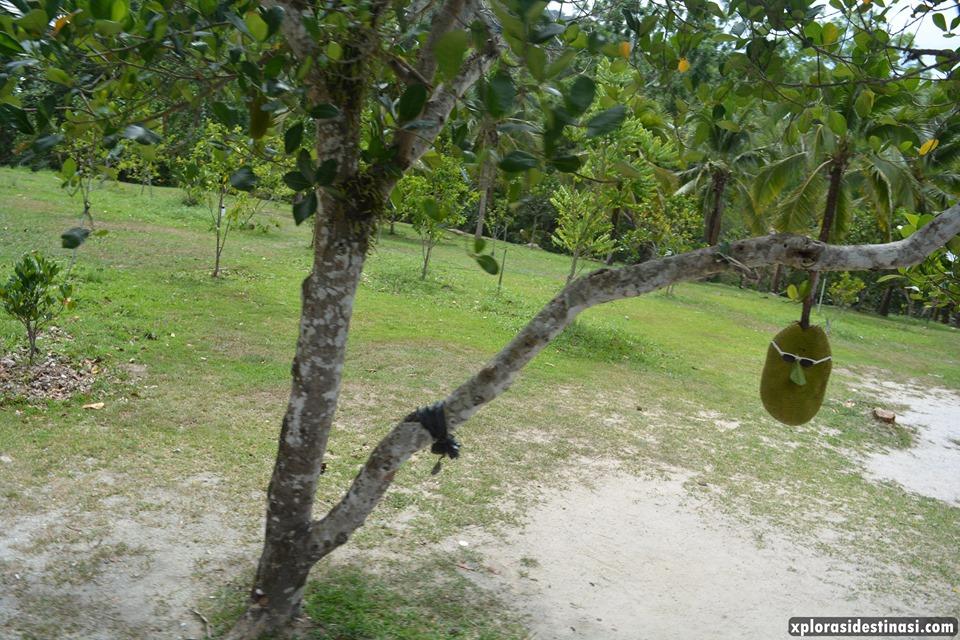 pokok-buah-mardi
