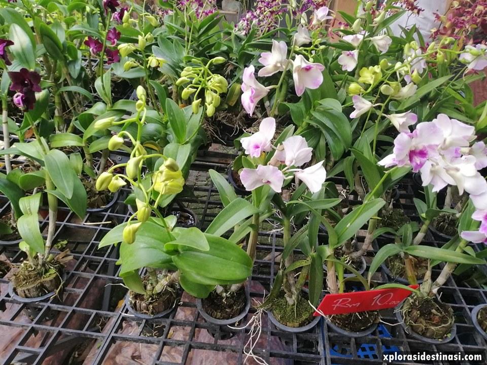 beli-orkid-padang-besar